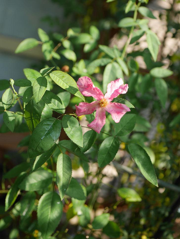 ムタビリス(Mutabilis)の夏花が咲いた。木立バラ。2020年-006.jpg
