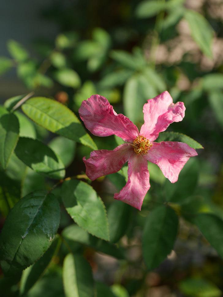ムタビリス(Mutabilis)の夏花が咲いた。木立バラ。2020年-008.jpg