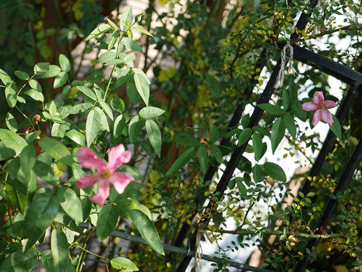 ムタビリス(Mutabilis)の夏花が咲いた。木立バラ。2020年-009.jpg