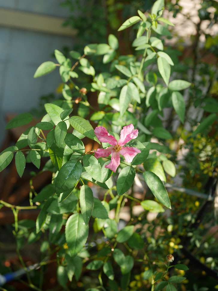 ムタビリス(Mutabilis)の夏花が咲いた。木立バラ。2020年-010.jpg
