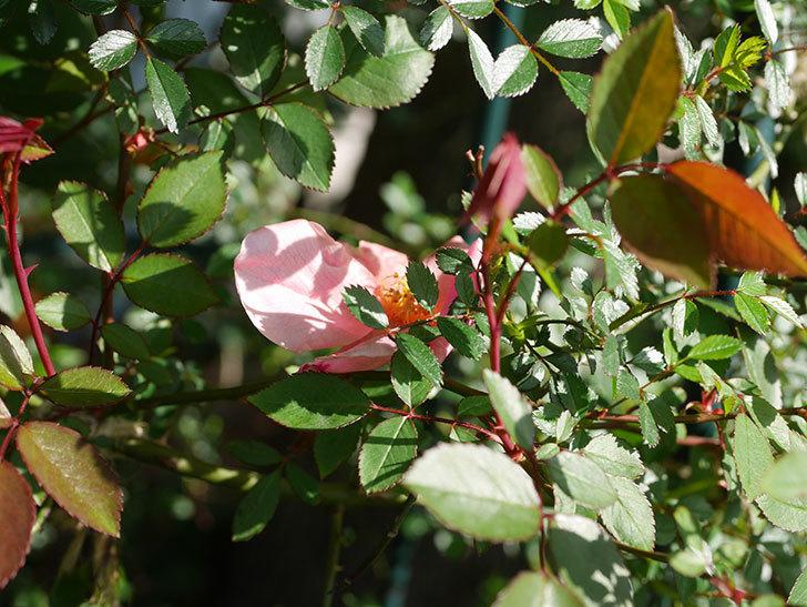 ムタビリス(Mutabilis)の花が咲いた。木立バラ。2021年-001.jpg