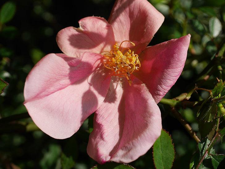 ムタビリス(Mutabilis)の花が咲いた。木立バラ。2021年-003.jpg