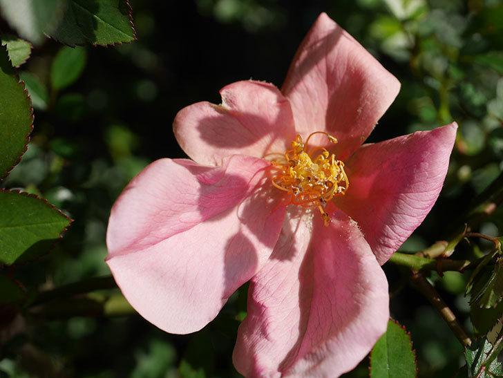 ムタビリス(Mutabilis)の花が咲いた。木立バラ。2021年-004.jpg