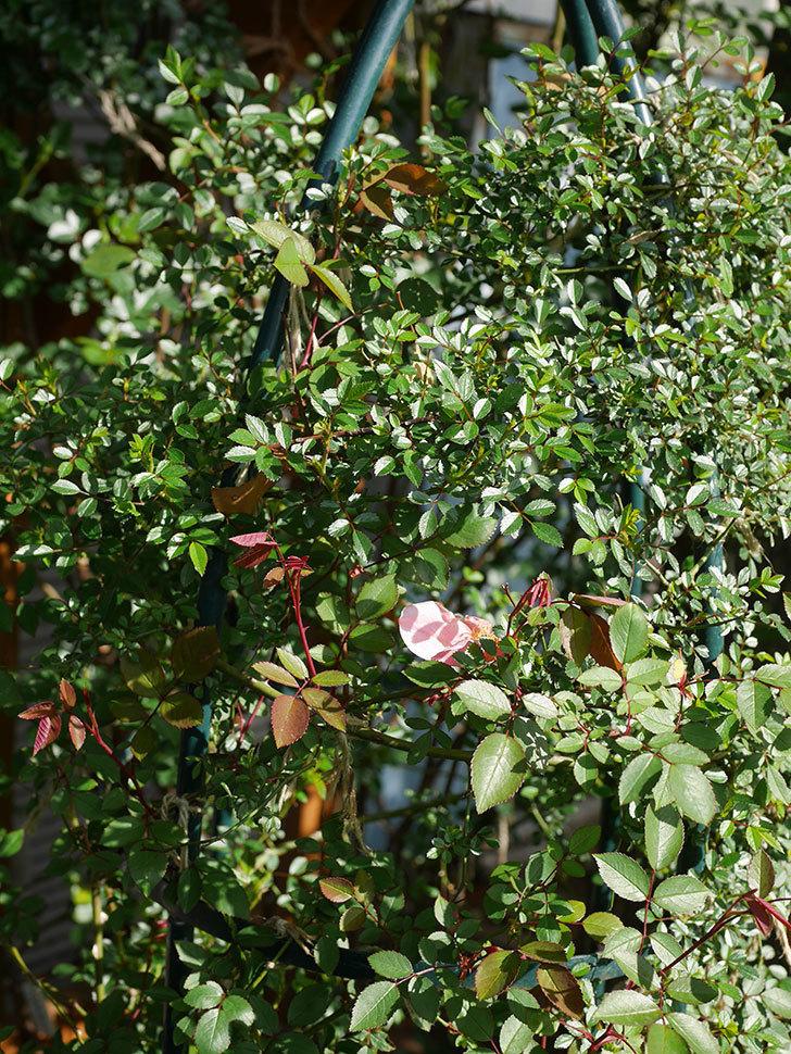 ムタビリス(Mutabilis)の花が咲いた。木立バラ。2021年-008.jpg
