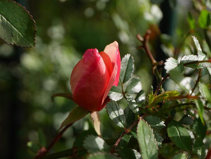 ムタビリス(Mutabilis)の蕾が膨らんで来た。木立バラ。2021年-001.jpg