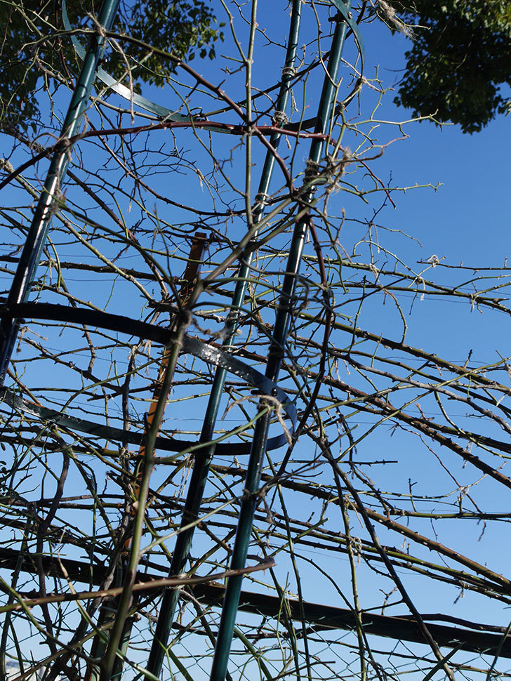 ムタビリス(Mutabilis)をオベリスクに誘引した。2021年。木立バラ。2021年-003.jpg