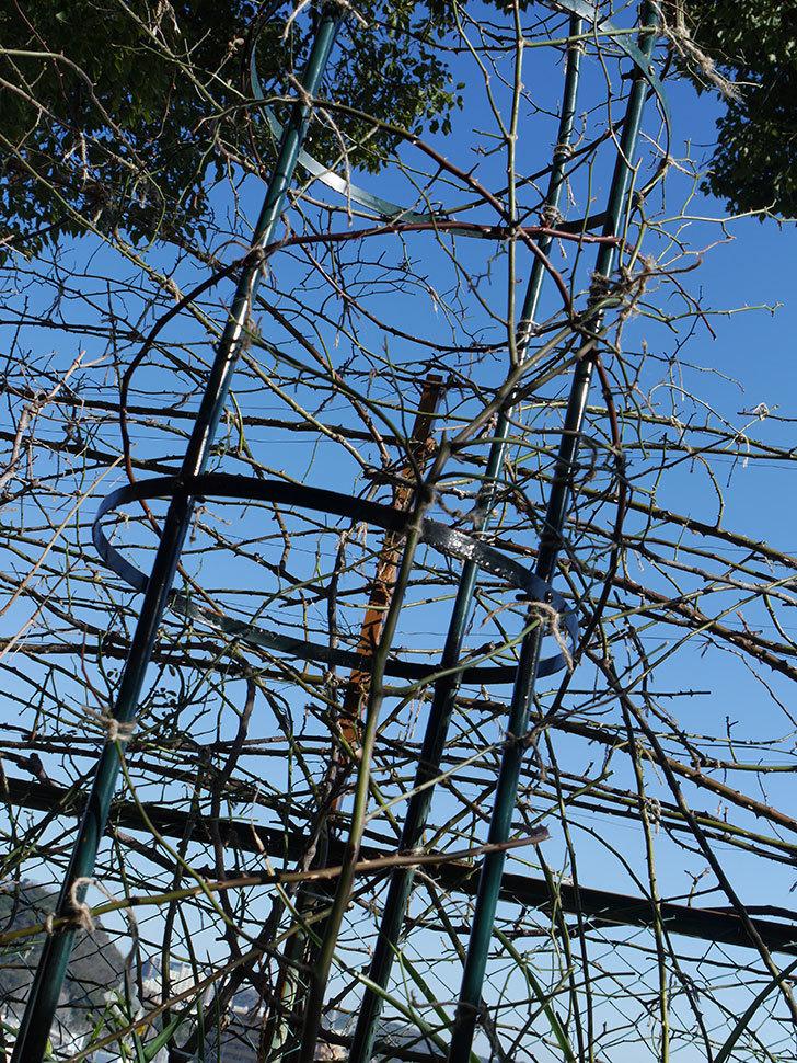 ムタビリス(Mutabilis)をオベリスクに誘引した。2021年。木立バラ。2021年-004.jpg