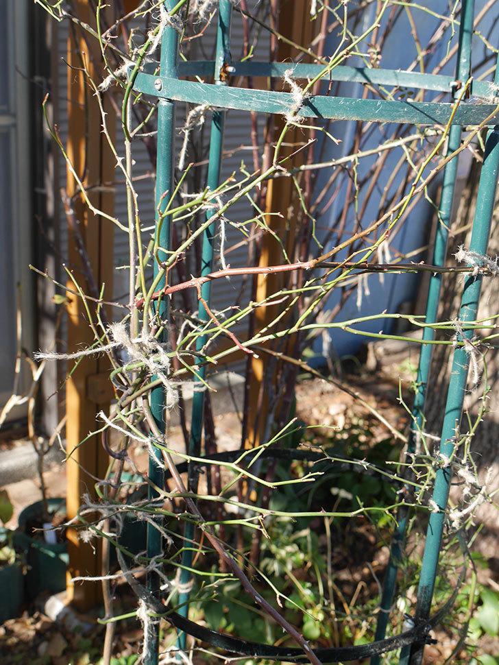 ムタビリス(Mutabilis)をオベリスクに誘引した。2021年。木立バラ。2021年-010.jpg