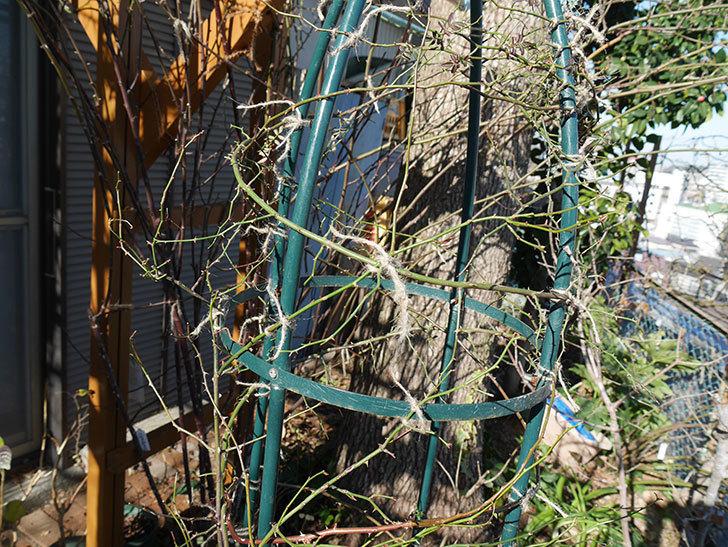 ムタビリス(Mutabilis)をオベリスクに誘引した。2021年。木立バラ。2021年-016.jpg