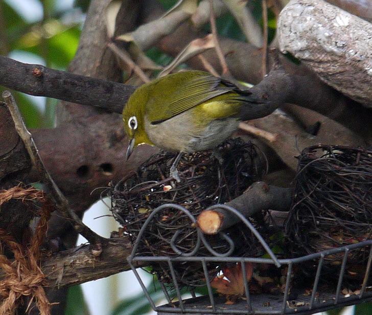 メジロが2羽でバードフィーダーに来た。2017年-5.jpg
