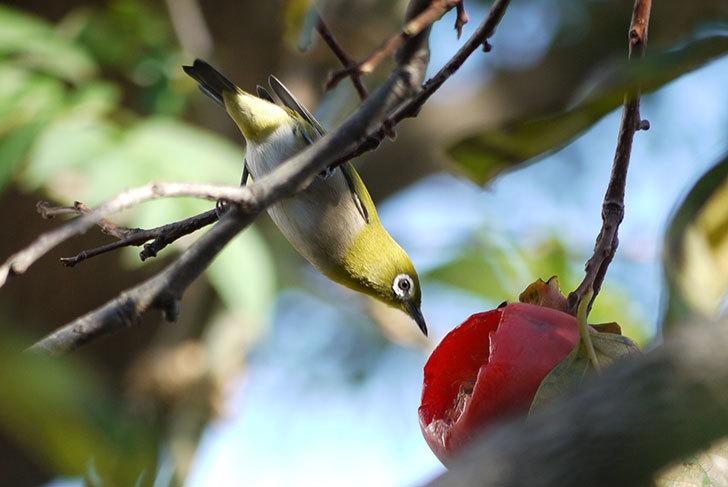 メジロが柿を食べに来た2.jpg