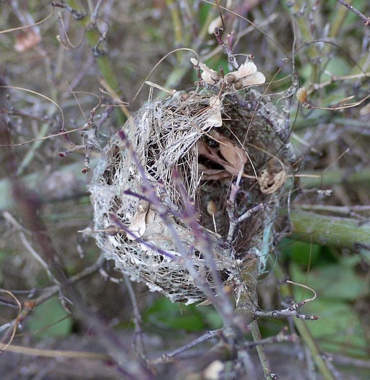 メジロの巣が剪定したモミジの枝に付いていた。2017年-2.jpg