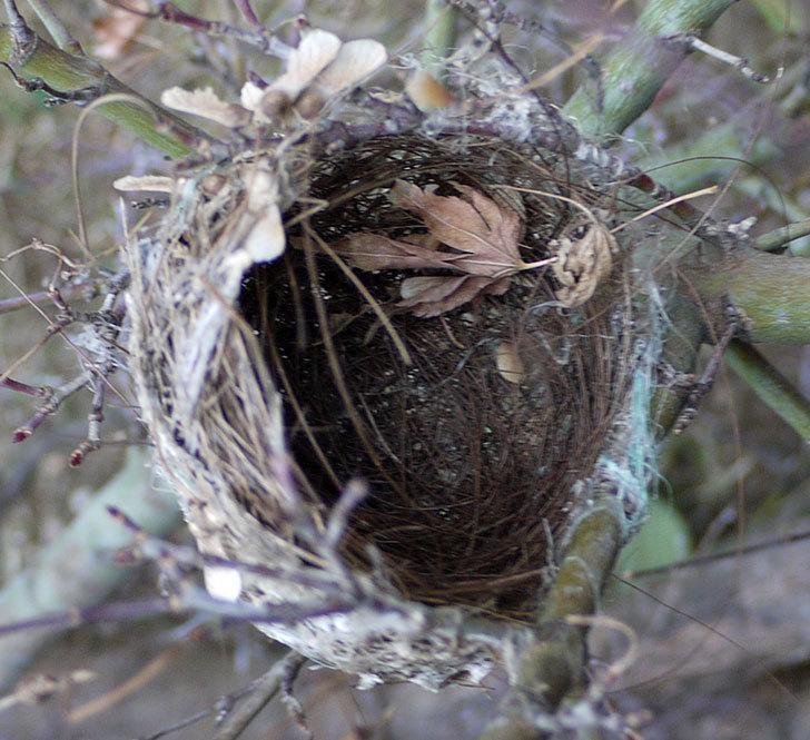 メジロの巣が剪定したモミジの枝に付いていた。2017年-3.jpg