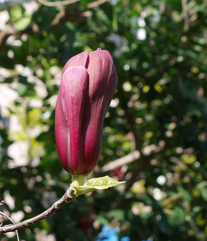 モクレンの花が咲きだした。2019年-3.jpg