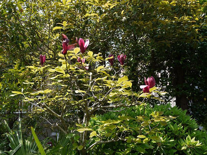 モクレン(木蓮)の花が咲いた2.jpg