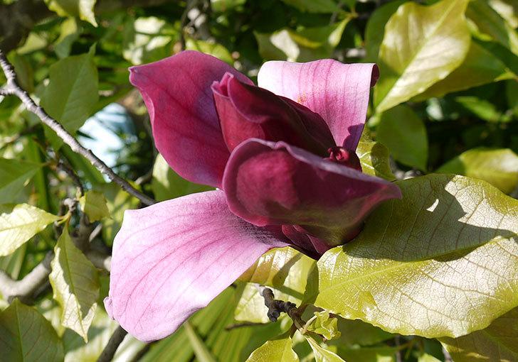 モクレン(木蓮)の花が咲いた4.jpg