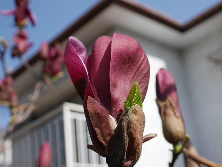 モクレン(木蓮)の花が咲いた。2021年-001.jpg