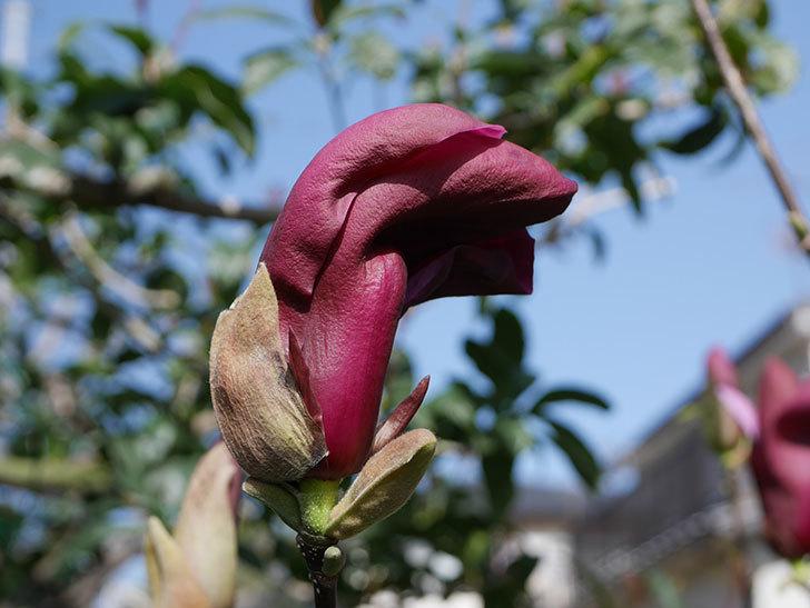 モクレン(木蓮)の花が咲いた。2021年-002.jpg