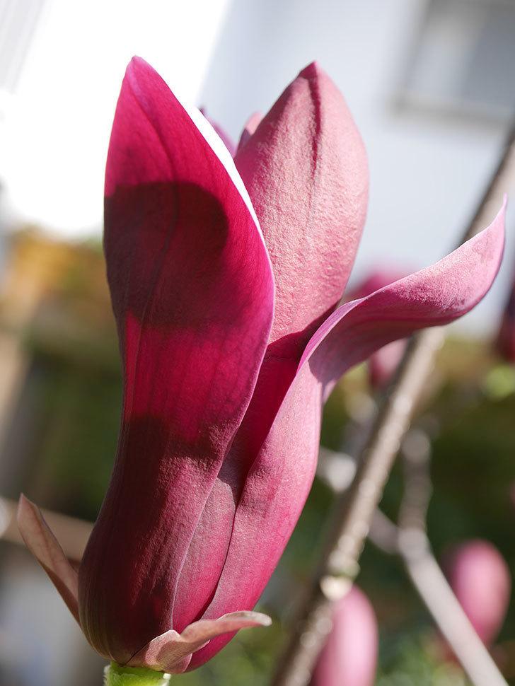 モクレン(木蓮)の花が咲いた。2021年-003.jpg
