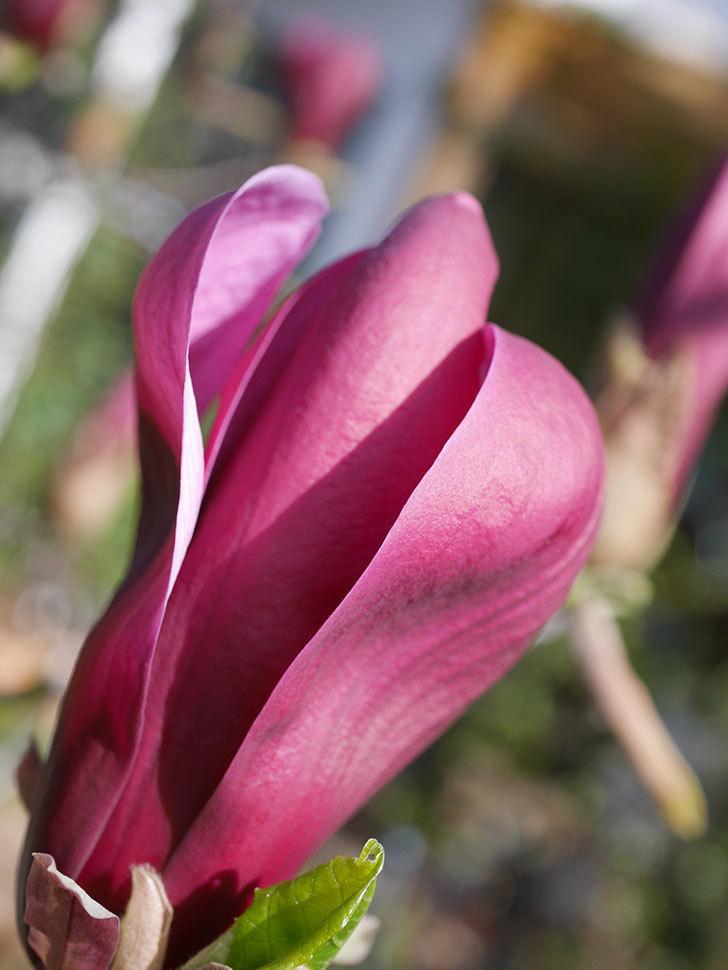 モクレン(木蓮)の花が咲いた。2021年-005.jpg