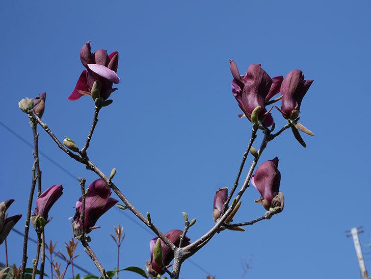 モクレン(木蓮)の花が咲いた。2021年-006.jpg