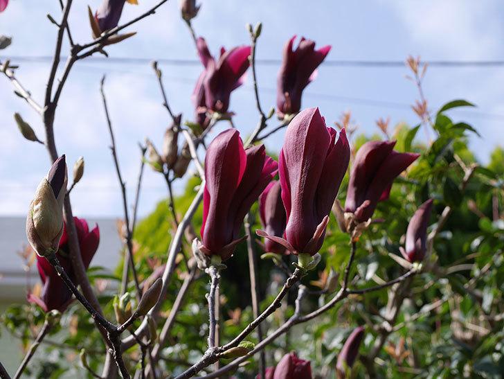 モクレン(木蓮)の花が咲いた。2021年-010.jpg