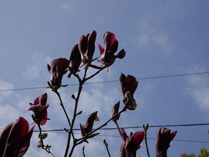モクレン(木蓮)の花が咲いた。2021年-011.jpg
