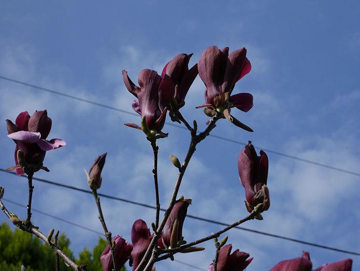 モクレン(木蓮)の花が咲いた。2021年-012.jpg