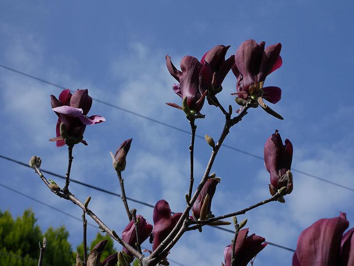 モクレン(木蓮)の花が咲いた。2021年-013.jpg