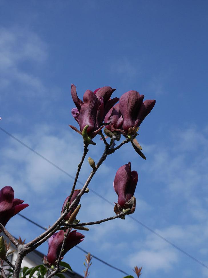 モクレン(木蓮)の花が咲いた。2021年-014.jpg
