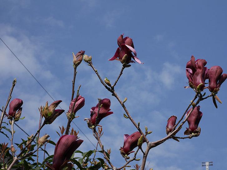 モクレン(木蓮)の花が咲いた。2021年-015.jpg