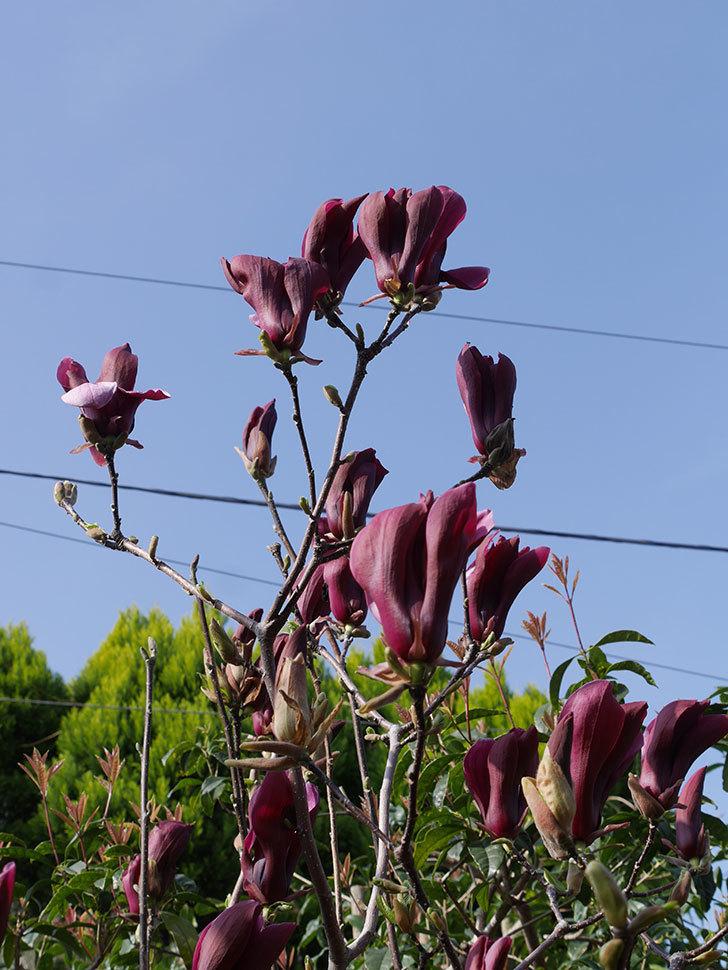 モクレン(木蓮)の花が咲いた。2021年-021.jpg