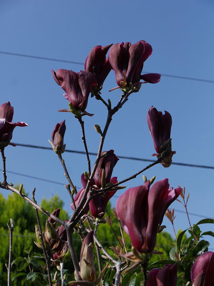 モクレン(木蓮)の花が咲いた。2021年-022.jpg