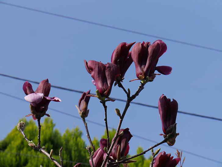 モクレン(木蓮)の花が咲いた。2021年-023.jpg