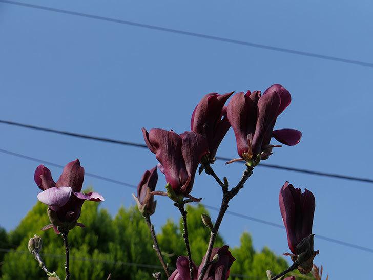 モクレン(木蓮)の花が咲いた。2021年-024.jpg
