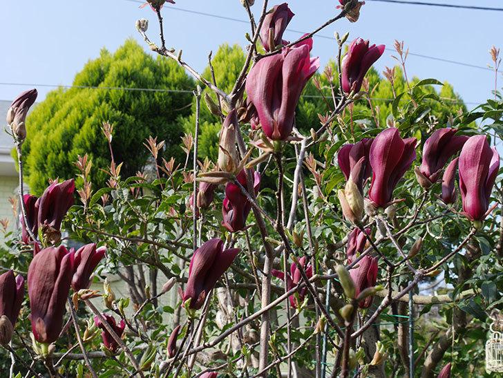モクレン(木蓮)の花が咲いた。2021年-025.jpg