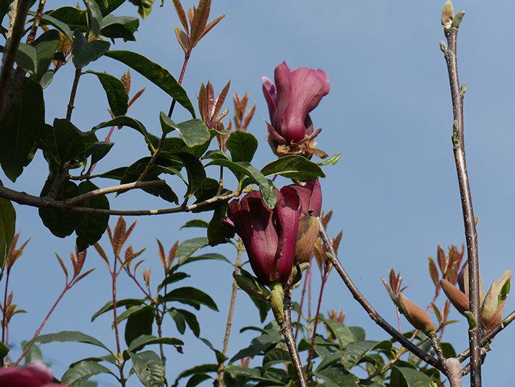モクレン(木蓮)の花が咲いた。2021年-027.jpg