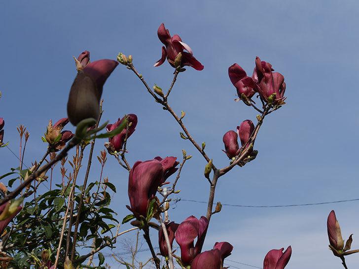 モクレン(木蓮)の花が咲いた。2021年-030.jpg