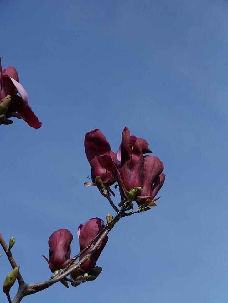 モクレン(木蓮)の花が咲いた。2021年-032.jpg