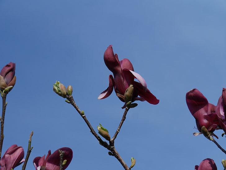 モクレン(木蓮)の花が咲いた。2021年-034.jpg