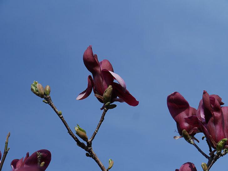 モクレン(木蓮)の花が咲いた。2021年-035.jpg