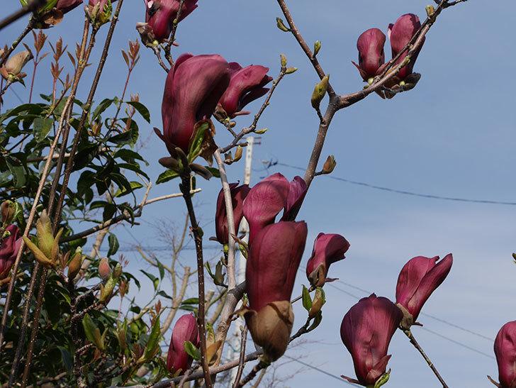 モクレン(木蓮)の花が咲いた。2021年-036.jpg