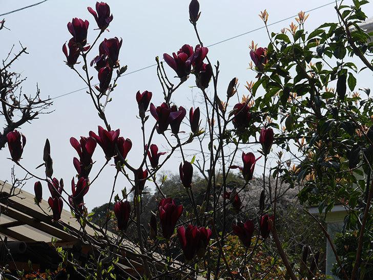 モクレン(木蓮)の花が咲いた。2021年-038.jpg