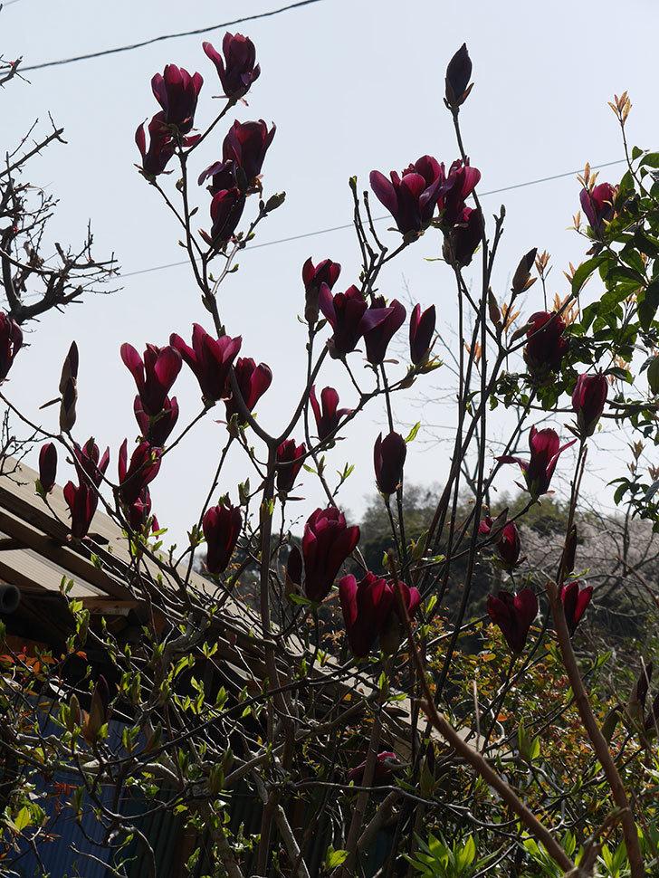 モクレン(木蓮)の花が咲いた。2021年-039.jpg