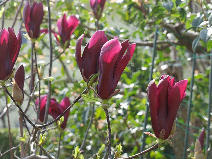 モクレン(木蓮)の花が咲いた。2021年-040.jpg
