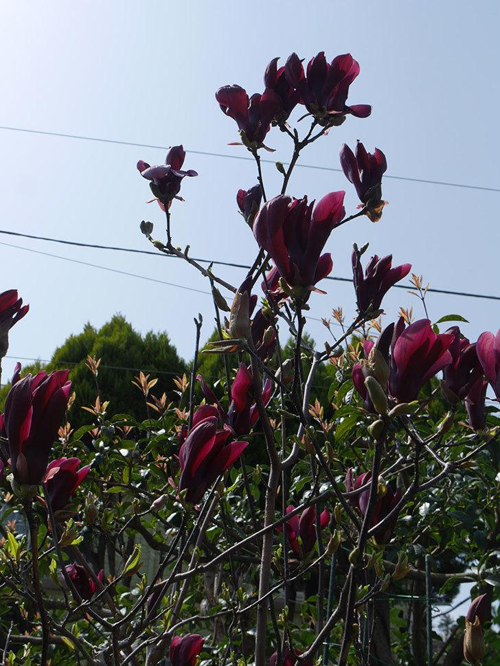 モクレン(木蓮)の花が咲いた。2021年-044.jpg