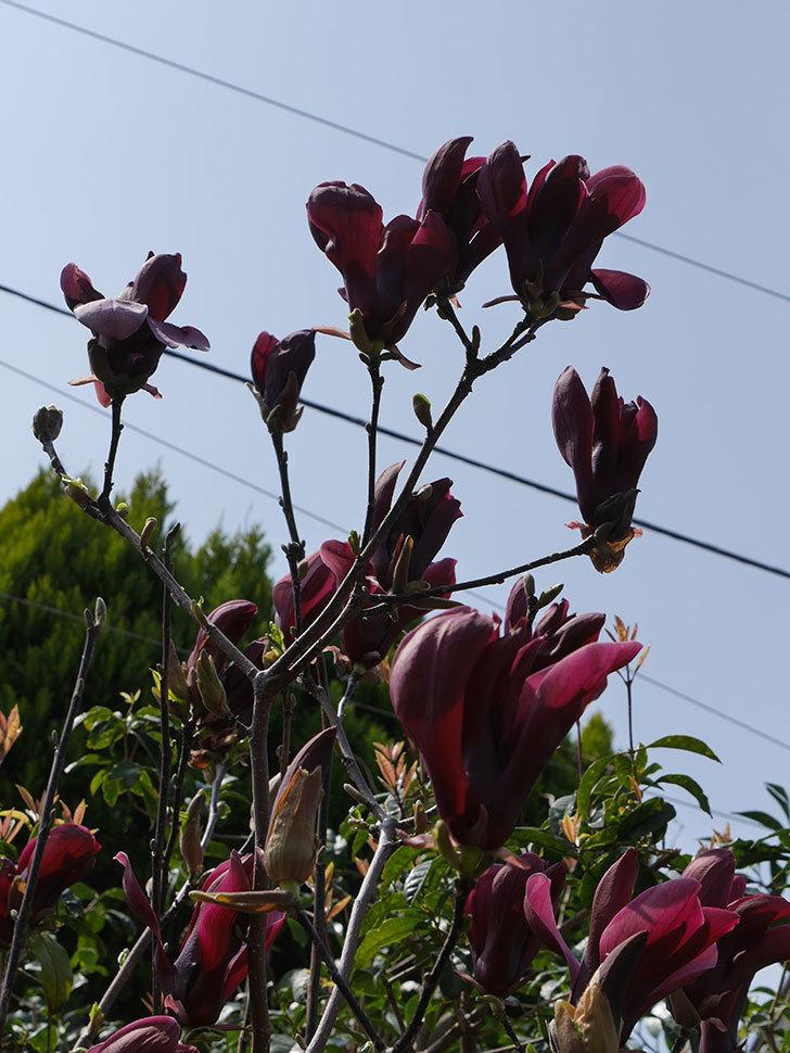 モクレン(木蓮)の花が咲いた。2021年-045.jpg