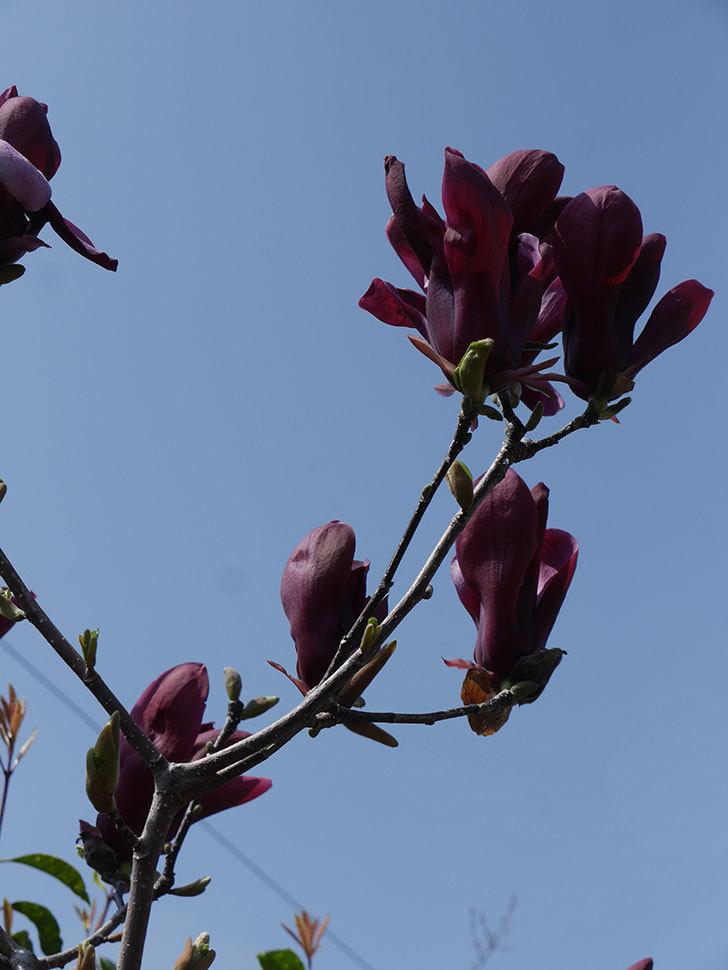 モクレン(木蓮)の花が咲いた。2021年-047.jpg