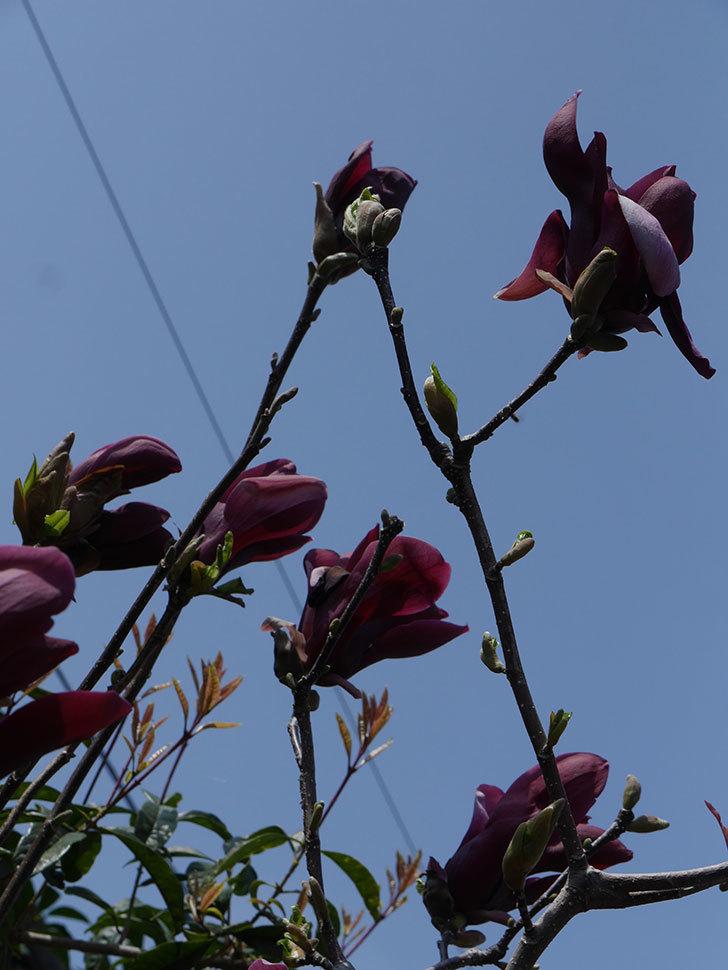 モクレン(木蓮)の花が咲いた。2021年-048.jpg