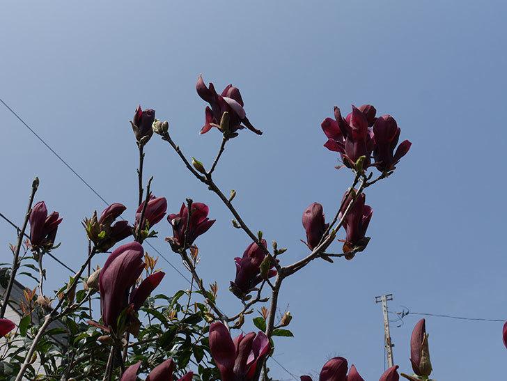 モクレン(木蓮)の花が咲いた。2021年-049.jpg